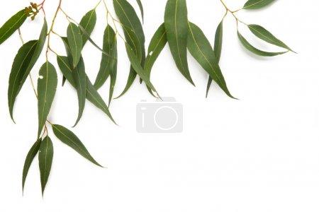 Photo pour Bordure des feuilles de gomme, coulée ombre douce sur blanc . - image libre de droit