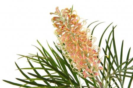 Photo pour Fleurs de grevillea australienne, isolées sur blanc. Ceci est une variété de gemme de miel rose . - image libre de droit
