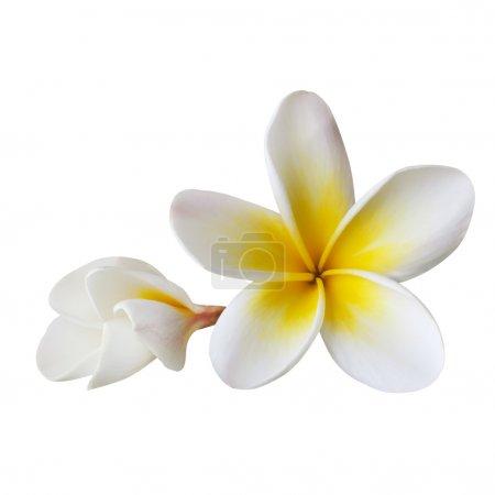 Photo pour Plumeria ou frangipani fleur et bourgeon, isolé sur blanc. Chemin de coupe inclus . - image libre de droit