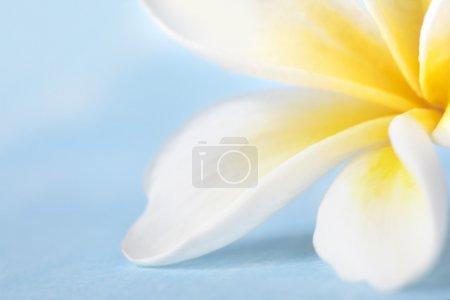 Photo pour Frangipani fleur en mise au point très douce, sur fond bleu pastel . - image libre de droit