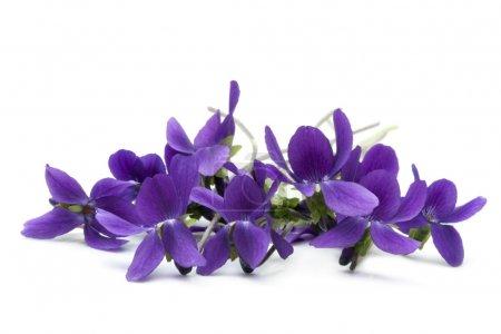 Photo pour Bouquet de violettes, sur fond blanc . - image libre de droit
