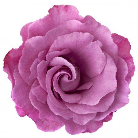 Photo pour Belle rose aux couleurs lavande, isolé sur blanc. - image libre de droit