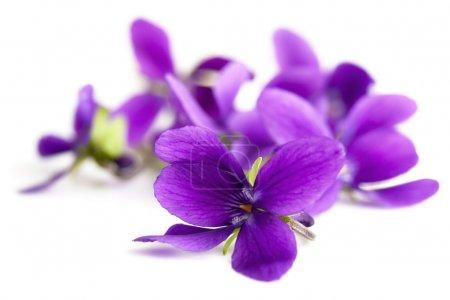 Photo pour Violettes au foyer doux, isolées sur fond blanc . - image libre de droit