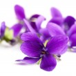 Violets in soft focus, isolated on white backgroun...