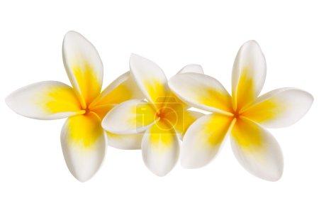 Photo pour Trois fleurs plumeria ou frangipani, isolées sur blanc. Chemin de coupe inclus . - image libre de droit