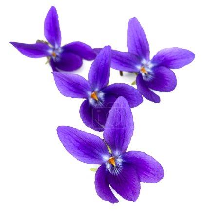 Photo pour Violettes sur fond blanc, avec ombre douce . - image libre de droit