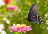 Farfalla macaone verde alimentazione su una zinnia rosa