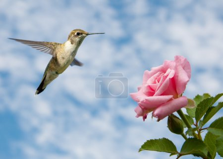 Photo for Tiny juvenile male Hummingbird hovering close to a Rose against cloudy skies - Royalty Free Image