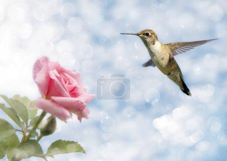 Photo pour Image rêveuse d'un Colibri planant près d'une Rose - image libre de droit