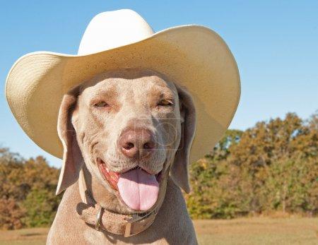 Photo pour Image comique d'un chien Braque de Weimar, coiffé d'un chapeau de cowboy - image libre de droit