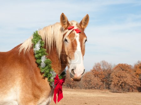 Photo for Belgian Draft horse with a Christmas wreath looking proudly at the viewer - Royalty Free Image