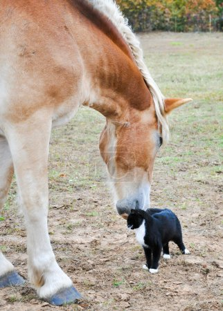 Large Belgian Draft horse nuzzling on a tiny kitty cat