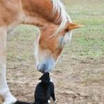 Friends nose to nose - huge Belgian Draft horse an...