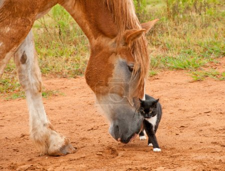 Belgian Draft horse pushing his little kitty cat friend