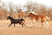 Two horses running in a fall pasture