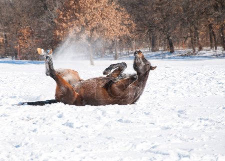 Dark bay Arabian horse rolling in snow