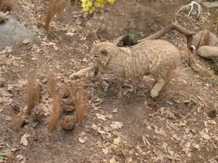 Bobcat chasing after quail