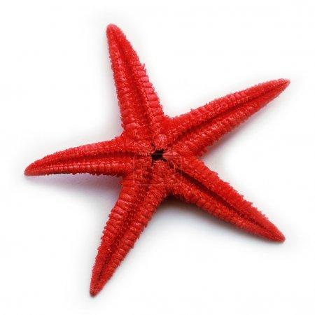 Photo pour Étoile de mer isolée - image libre de droit