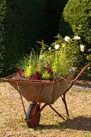 Decorative garden whellbarrow with culinary herbs
