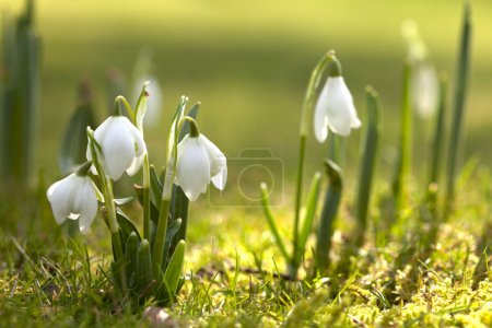 Snowdrop flowers in morning, soft focus, perfect for postcard