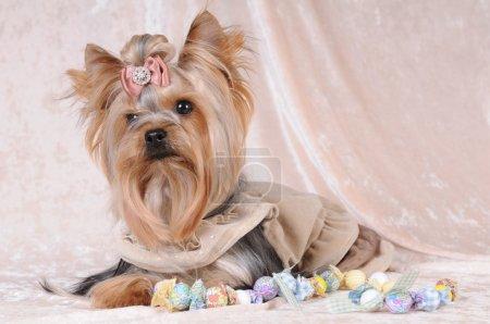 Yorkshire terrier liyng on light velvet