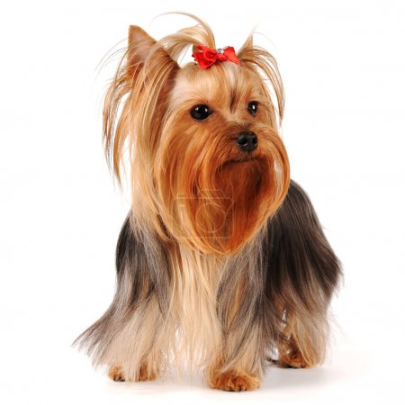 Yorkshire terrier stands isolated on white background