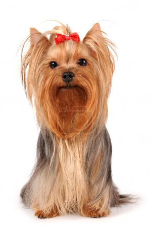 Yorkshire terrier sits on white background