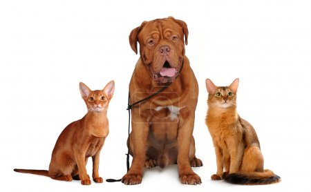 Photo pour Trois animaux de compagnie : deux chats et un chien de couleur rouge assis et regardant la caméra. Chien bordoss, chats abyssiniens et somaliens isolés sur blanc - image libre de droit