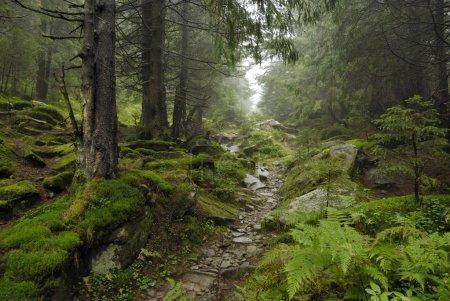 Track in wilde forest in Carpathians...