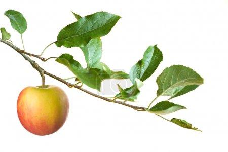 Photo pour Pomme sur une branche isolée sur fond blanc .focus sur pomme - image libre de droit
