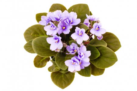 Photo pour Fleur violette sur fond blanc  . - image libre de droit