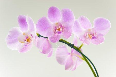 Photo pour Belle fleur d'orchidée - image libre de droit