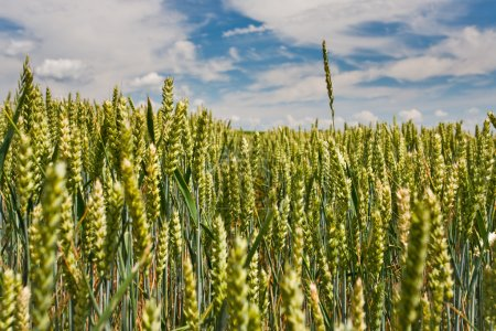 Ear of wheat rise above field under blue sky