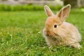 lapin bébé or en herbe