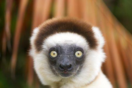 Шелковистая сифака лемур Мадагаскар