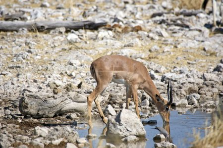 Mal impala is drinking at the water hole