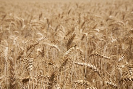 Photo for Wheat ears field - Royalty Free Image
