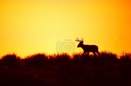 Weißnagel-Bock im Sonnenuntergang