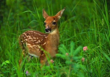 Photo pour Un faon à queue blanche mignon debout dans l'herbe verte - image libre de droit