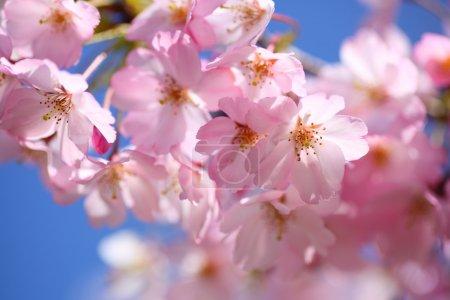 JAPANESE CHERRY BLOSSOM IN SPRING...
