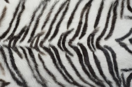 White animal tiger fur