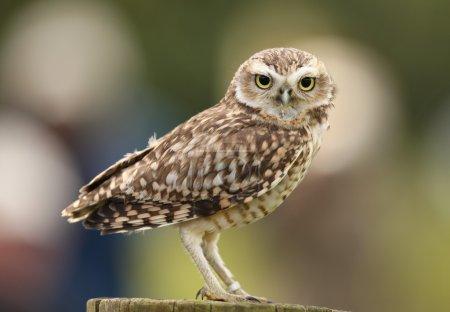 Portrait of a Burrowing Owl...