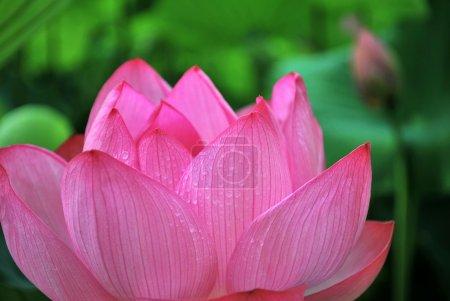 Photo pour Jolie fleur de lotus rouge en fleurs, symbolisant la religion, le bouddhisme et d'autres concepts religieux . - image libre de droit