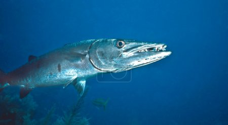 Great Barracuda photographed in St. Lucia on shall...