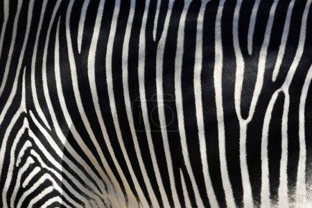 Photo pour Texture noir et blanc de peau de zèbre - equus grevyi - image libre de droit