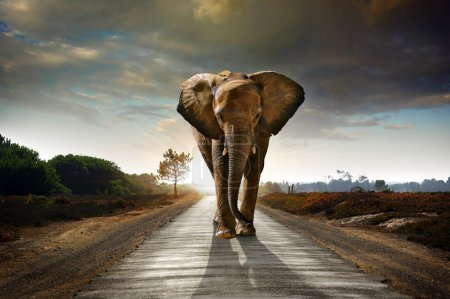Photo for Single elephant walking in a road with the Sun from behind - Royalty Free Image