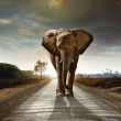 Single elephant walking in a road with the Sun fro...