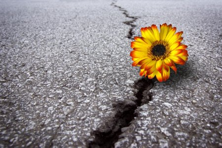 Photo for Beautiful flower growing on crack in old asphalt pavement - Royalty Free Image