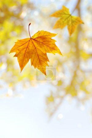Foto de Cayendo marchitas agaist hoja un fuera de la rama de un árbol foco - Imagen libre de derechos