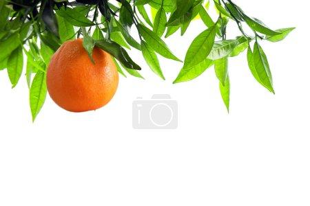 Photo pour Branche d'oranger avec une orange isolée en blanc - image libre de droit